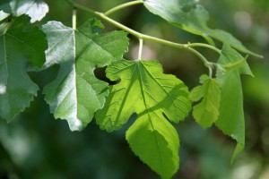 mulberry_leaves1