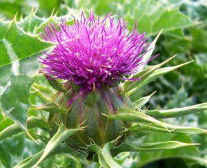 Milk_thistle_flower[1]