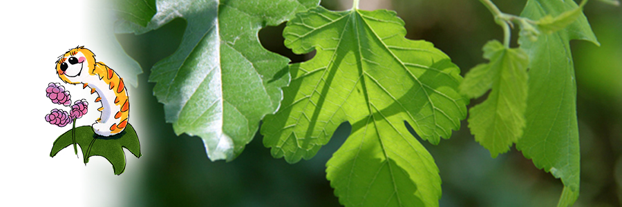 silky-with-mulberry-leaf
